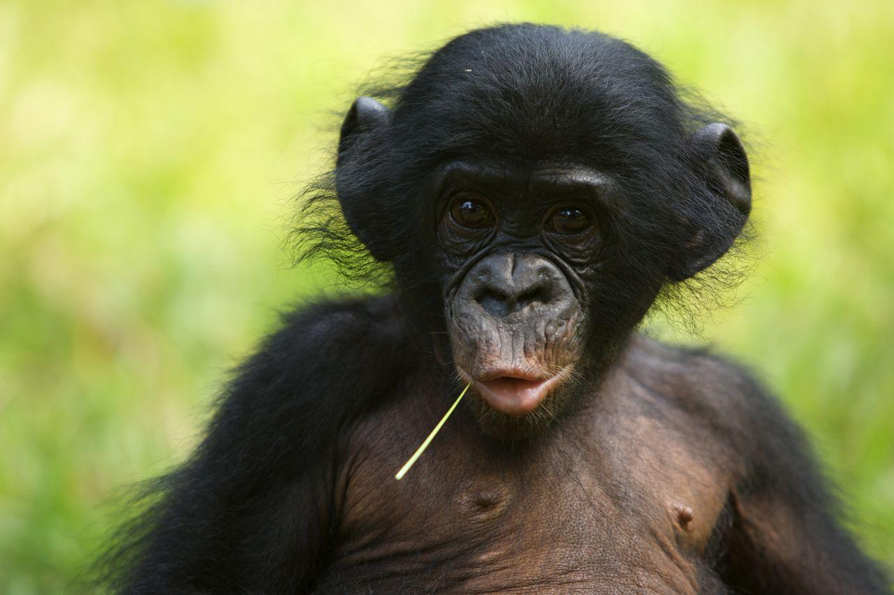 bonobo-power